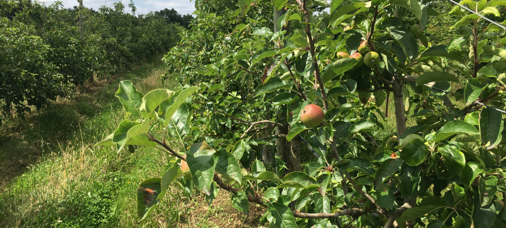 Les Côteaux Nantais cultivent 44 variétés de pommes.