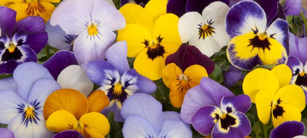 Fleurs Comestibles Mettez De La Couleur Dans Vos Assiettes