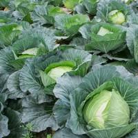 Alsace : vers une pénurie de choux à choucroute