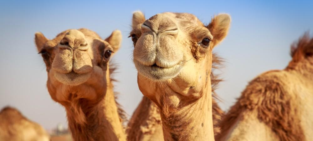 le rhume c est cause du chameau reponse conso. Black Bedroom Furniture Sets. Home Design Ideas