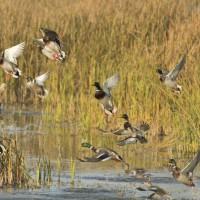 Un cas de grippe aviaire détecté chez des canards sauvages dans le Pas-de-Calais