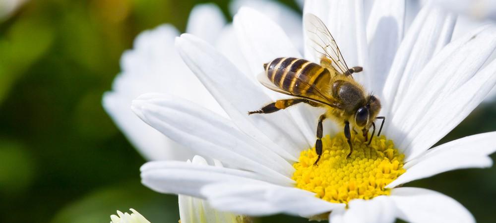 Abeilles : des mini-drones pollinisateurs pour les remplacer ?