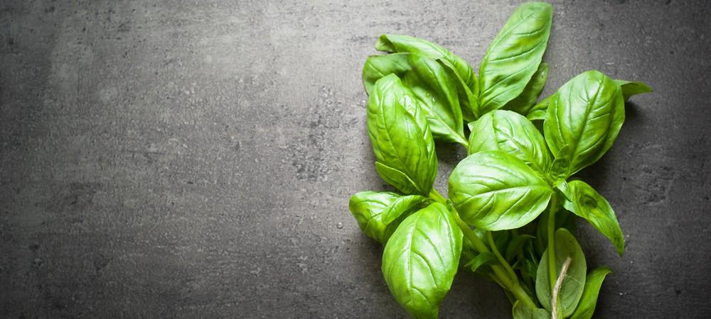 Basilic : ses variétés étonnantes