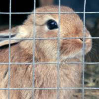 Bientôt la fin des cages à lapins ?