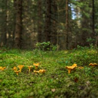 Rhône-Alpes : des champignons toujours radioactifs