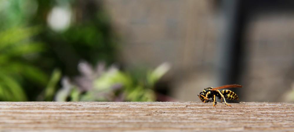 frelon gu pe abeille que faire en cas de piq re reponse conso. Black Bedroom Furniture Sets. Home Design Ideas