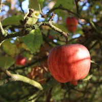 Intermarché s'engage aux côtés des producteurs de pommes Vergers Écoresponsables.