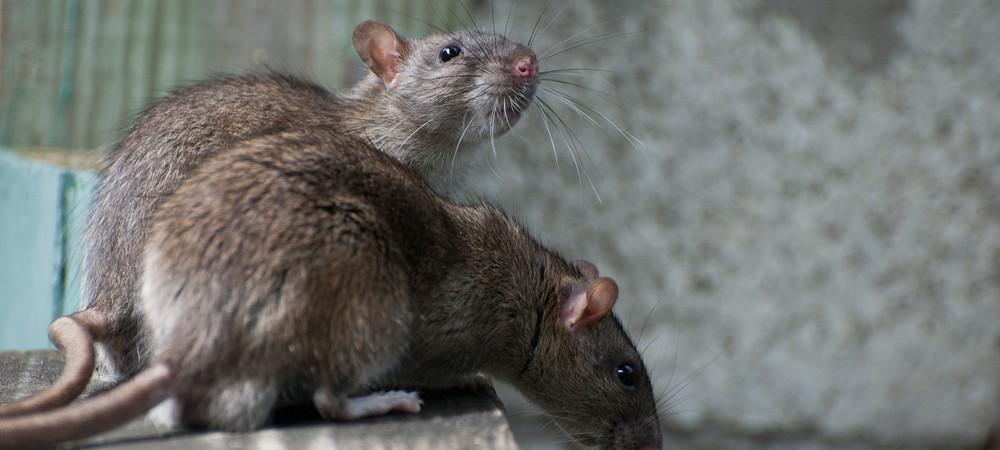 une p tition pour sauver les rats de paris reponse conso. Black Bedroom Furniture Sets. Home Design Ideas