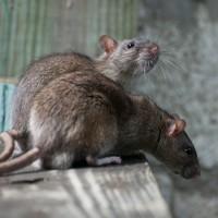 Une pétition a été lancée pour sauver les rats de Paris
