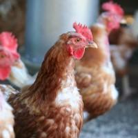 Poulehouse : une maison de retraite pour poules pondeuses